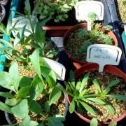 Bethlem Royal Hospital , Kent, UK, piante tintorie che crescono nella serra